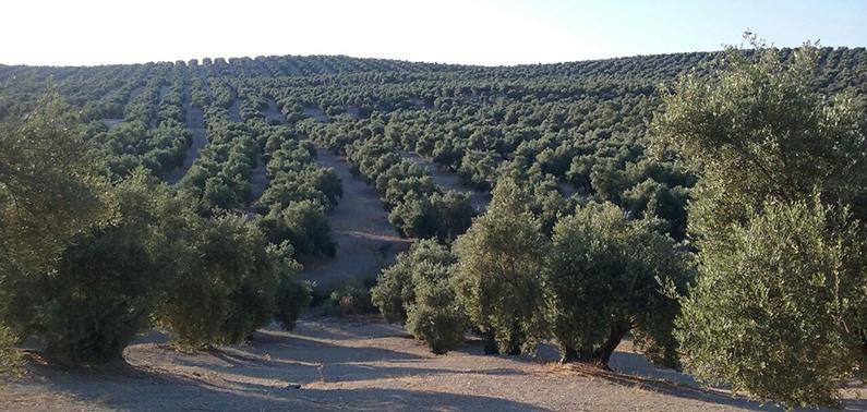 olivosjaen